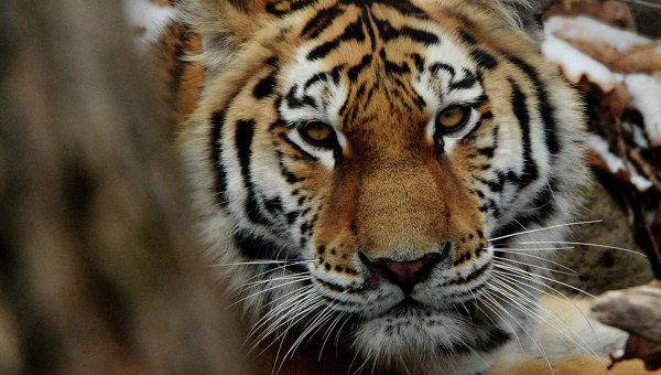 Цирковой тигр напал напенсионера