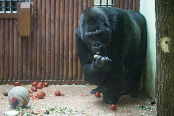 Животные зоопарка в Киеве получили подарки на Новый год