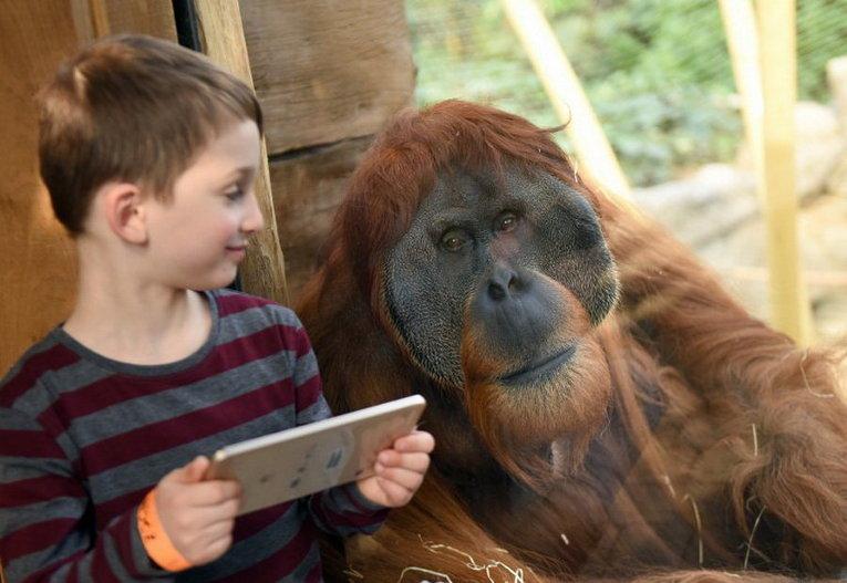 Мальчик Ной и орангутанг Шуби в зоопарке города Гельсенкирхен, Германия