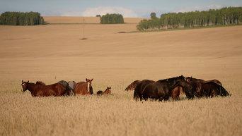 Лошади пасутся в поле. Архивное фото