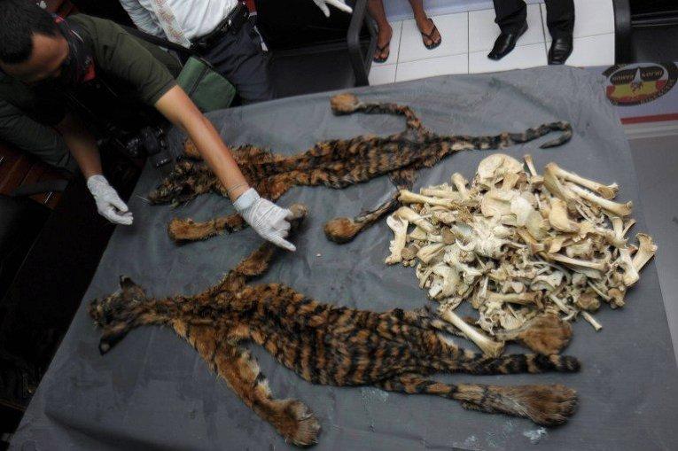 Незаконная торговля шкурами диких тигров на острове Суматра