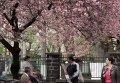 Цветение сакуры на Закарпатье