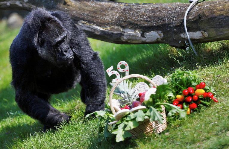 Вторая старейшая в мире горилла Фату ест из корзины фрукты в день ее рождения в Берлинском зоопарке