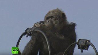 Японские спасатели сняли шимпанзе с электропроводов