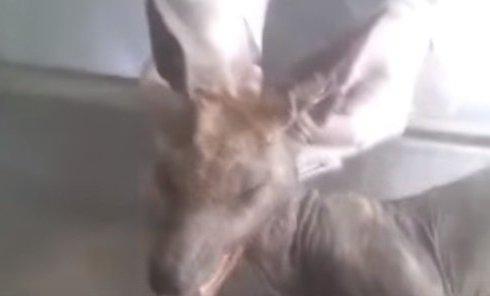 На Буковине поймали и убили чупакабру. Видео