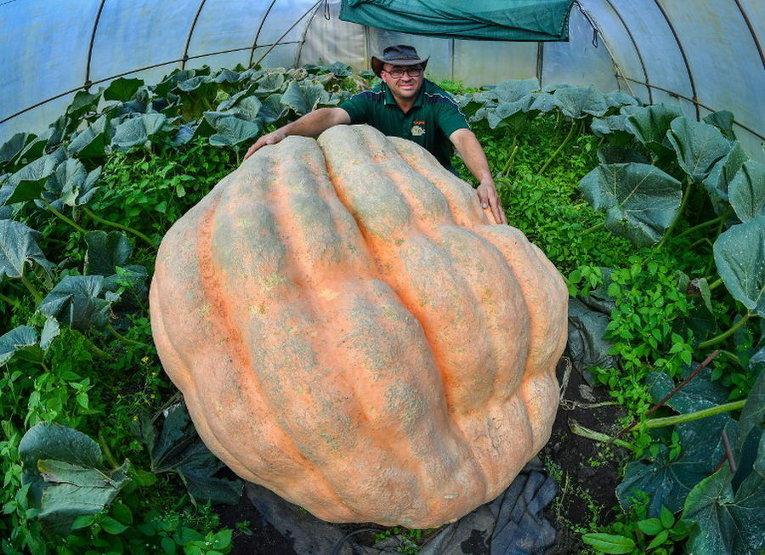 Тыква-гигант весом в 550 килограммов в теплице в Фойерстенвальде недалеко от Франкфурта-на-Одере, восточная Германия