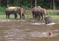 Слоненок спасает своего друга-волонтера