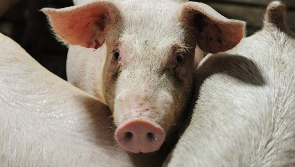 Мужчина сел на17 лет зато, что скормил омского фермера свиньям
