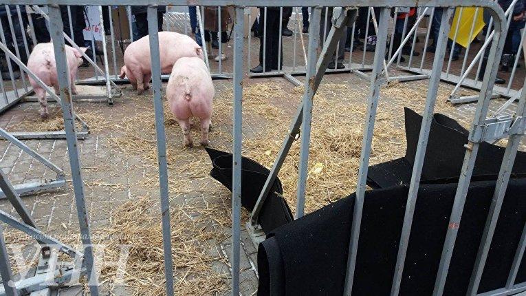 Активисты привели под Кабмин свиней