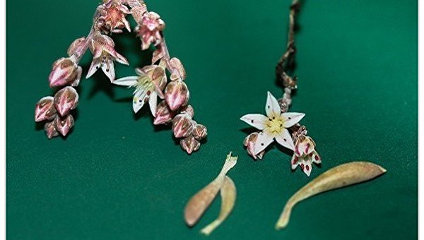 ВСША учёные назвали новое растение вчесть Джими Хендрикса