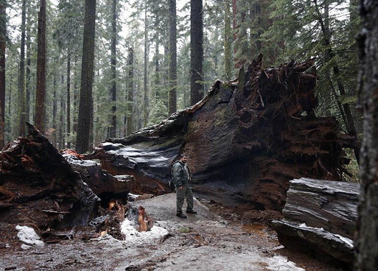 Гигантская секвойя вырвана с конем сильным штормом в Калифорнии