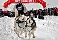 Гонки ездовых собак в Харьковской области