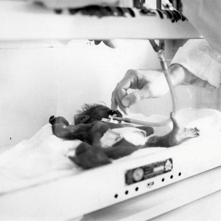 Самка гориллы по имени Коло скончалась в США
