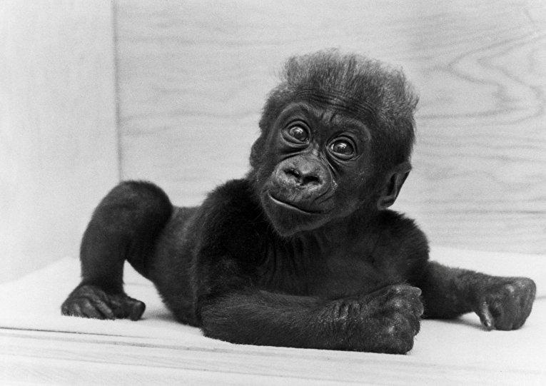 Самка гориллы, рожденная в неволе, по имени Коло