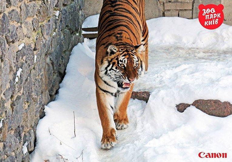 Тигры в Киевском зоопарке