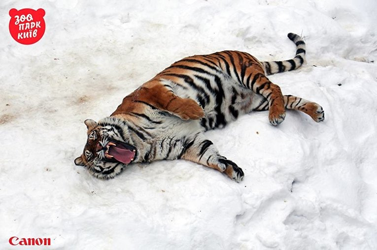 Тигр в Киевском зоопарке