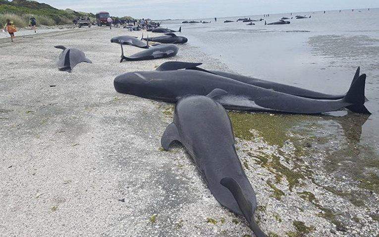 Массовое самоубийство китов в Новой Зеландии