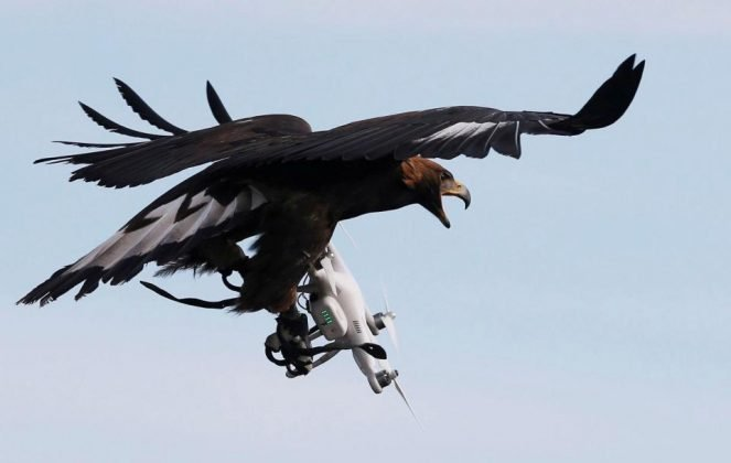 Французская полиция продемонстрировала работу показала четырёх орлов, обученных сбивать несанкционированные дроны. Птиц тренировали охотиться на беспилотники вскоре после вылупления.