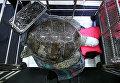 Черепаха, из желудка которой таиландские ветеринары извлекли 915 металлических монет