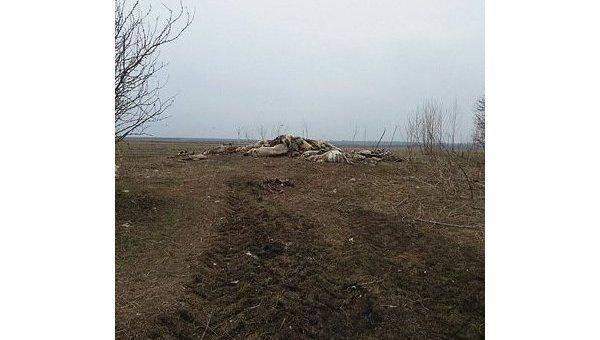 Трупы свиней у села Майоровка Новобугского района