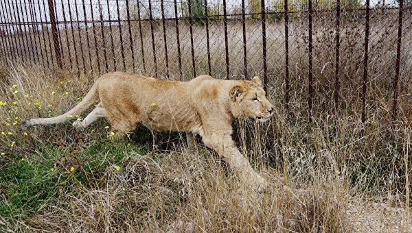 Львица набросилась начеловека и убежала изцирка вЧерниговской области