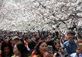 В Японии зацвела сакура