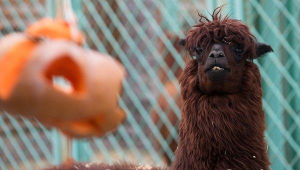Альпака в зоопарке. Архивное фото