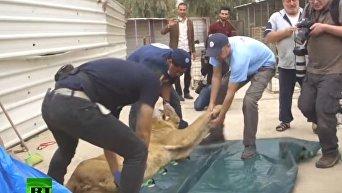 Спасение животных из зоопарка Мосула. Видео