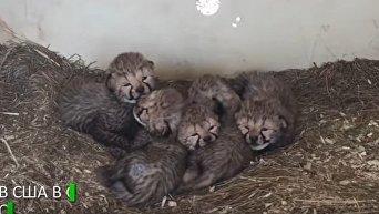 В американском зоопарке родились 12 гепардов