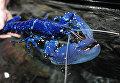 Уникальный синий омар в океаническом центре во Франции. Такой экземпляр встречается один на 2-3 млн.