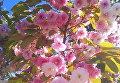 Цветение сакуры в Киеве