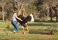 Не обнимайте страуса, Или приключения туриста в ЮАР. Видео