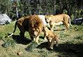 Уникальные львята в чилийском зоопарке