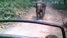 Слон набросился на туристов в Индии. Видео