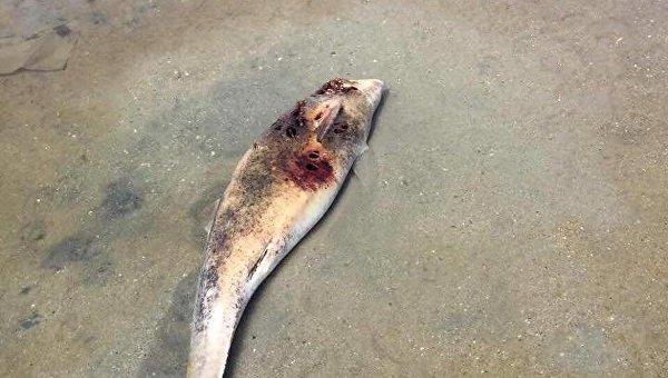 Мертвых дельфинов выбросило наберег вОдессе