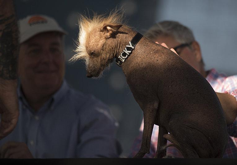 В США выбрали самых уродливых псов