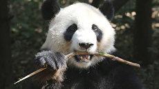 Панда столкнула со склона своего детеныша, который мешал ей есть