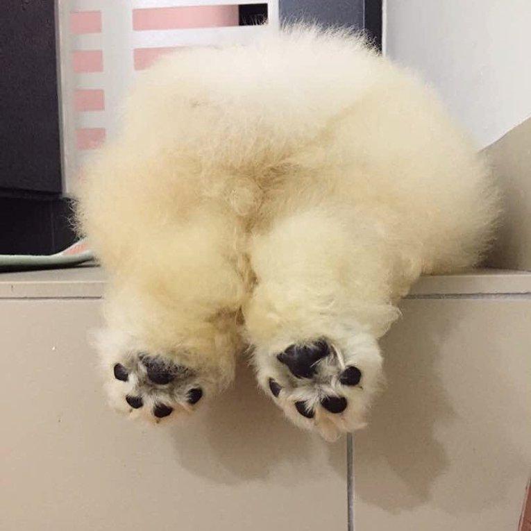 Собака Паффи из Малайзии