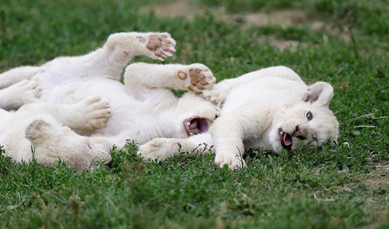 Потомство львят в частном зоопарке в деревне Дворце, Чехия