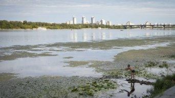 Днепр в Киеве зарастает водорослями