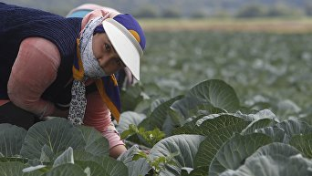 Сбор урожая капусты