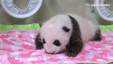 Взвешивание новорожденного детеныша панды в японском зоопарке