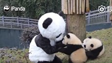 Работник зоопарка играет с маленькими пандами