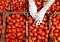 Сбор урожая помидоров