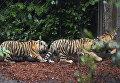 В Германии впервые показали новорожденных сибирских тигрят