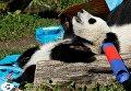 Детеныши панды отмечают свой первый день рождения в зоопарке Вены