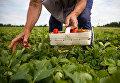 Мигранты собирают урожай. Архивное фото