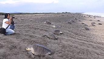 Побережье Мексики захватили тысячи черепах