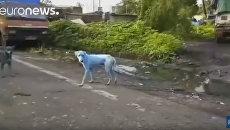 Синие собаки в Мумбаи