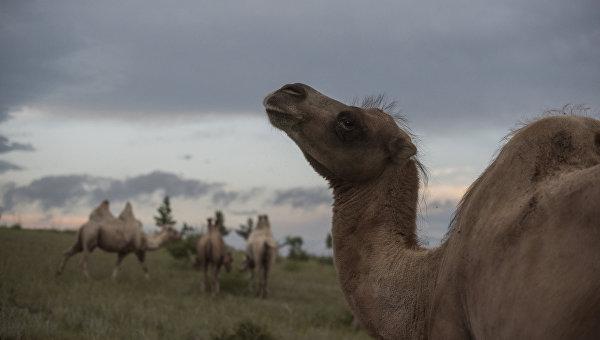После укуса верблюда гражданин Подмосковья лишился руки